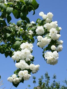 Philadelphus or Mock Orange  With the strong smell of orange blossom, hence their common name of mock orange, are frost hardy and easy to grow in sun or light shade. Flowering from late spring throughout early summer, the profusion of white blooms fills the garden with their glorious aroma.