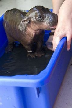 Baby hippo bath time