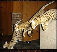 Savannah cats are awesome.