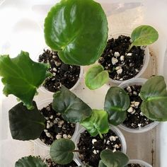 Japanese Garden The Best Method To Grow An African Violet From A Leaf.Japanese Garden The Best Method To Grow An African Violet From A Leaf Outdoor Plants, Air Plants, Garden Plants, Roses Garden, Fruit Garden, Tropical Garden, Organic Gardening, Gardening Tips, Indoor Gardening
