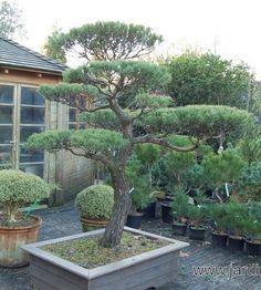 Japanese Pine Tree Pruning Nowaki