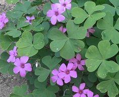 Oxalis Articulata Shamrock 5 Bulbs - Clover Plant, Produces Purple Flowers #Oxalis