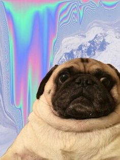 Pewdiepie's pug is for a hipster iPhone background.
