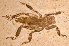 Rare Insect Fossil Reveals 100 Million Years of Evolutionary Stasis...Researchers have discovered the 100 million-year-old ancestor of a group of large, carnivorous, cricket-like insects that still live today in S Asia, N Indochina and Africa. The new find, in a limestone fossil bed in NE Brazil, corrects the mistaken classification of another fossil of this type and reveals that the genus has undergone very little evolutionary change since the Early Cretaceous Period.