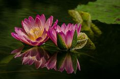 Pretty In Pink Water Lily by Carrie Fleitz