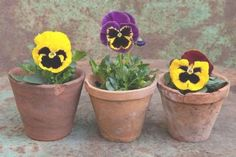 Pansies are the colorful flowers with faces. A cool-weather favorite pansies are great for both spring and fall gardens! Heres how to plant pansies as well as keep them growing and blooming. Orange Flowers, Colorful Flowers, Exotic Flowers, Yellow Roses, Pink Roses, Beautiful Flowers Garden, Beautiful Gardens, Flowers Perennials, Planting Flowers