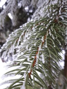 Iceflakes on a pine.