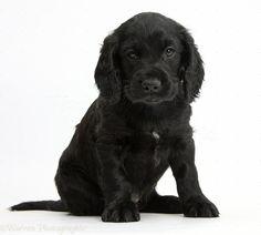Black Cocker Spaniel, American Cocker Spaniel, Canada Images, Labrador Retriever, Puppies, Dogs, Cute, Image Search, Animals