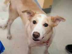 ★12/20/15 SL★PEGGY SUE  is available for adoption from @CUHumane #Urbana #Champaign #IL www.cuhumane.org PINNED 12/16/15 (CHAMPAIGN COUNTY HUMANE SOCIETY) Please click on the PET HARBOR link to see full BIO. Thanks.