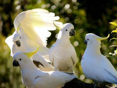 SULPHUR CRESTED COCKATOOS The gang - Peter Ttyring