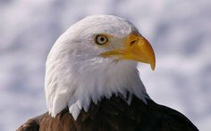 Bald eagles are so stunning and majestic..