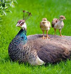 Peachicks enjoy the view from their mother's back!