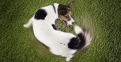 Why do dogs chase their tails? Find out here.