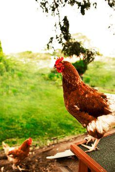 Hens are living, feeling creatures. #hensdeservebetter