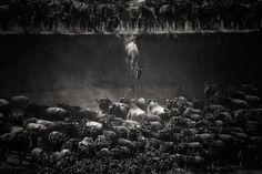 Nature-Winner-Nicole-Cambre-The-Great-Migration