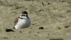 Fratino in spiaggia #Silvi #abruzzo #nature