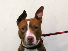 TO BE DESTROYED - 10/26/14 Brooklyn Center -P  My name is ROSE. My Animal ID # is A1017290. I am a female tan and white am pit bull ter mix. The shelter thinks I am about 1 YEAR.  For more information on adopting from the NYC AC&C, or to  find a rescue to assist, please read the following: http://urgentpetsondeathrow.org/must-read/