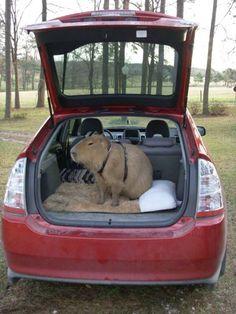 Ritemail: The World Famous Capybara Caplin