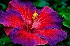 Ideas For Tattoo Flower Shoulder Hibiscus Tropical Flowers, Hawaiian Flowers, Hibiscus Flowers, Lilies Flowers, Rare Flowers, Exotic Flowers, Beautiful Flowers, Purple Flowers, My Flower