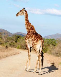 Ciekawostka o zebrach i żyrafach