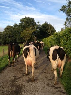 Cows coming in to be milked http://irishfarmerette. com