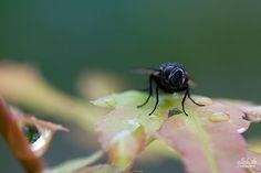 Ein weiteres Bild von der Fliege, auch hier die gleichen Lichtverhältnisse wie beim letzten Bild.  Auch hier der Crop:    100% 150x150px