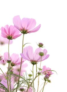 cosmos flowers on white background by Natthawut Punyosaeng on Flower Drawing Tutorials, Flower Line Drawings, Flower Background Wallpaper, Flower Phone Wallpaper, Vintage Flower Backgrounds, Cosmos Flowers, Flowers Nature, Lotus Flower Art, Botanical Flowers