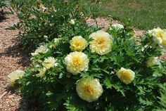 Paeonia ITOH 'Bartzella' Height: 2-3' Spread: 2-3' Full Sun, Partial Shade Blooms late spring to early summer Large, double flowers