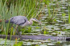 Great Blue Heron Bird, Juanita Bay Wetland, Washington, USA Photographic Print…
