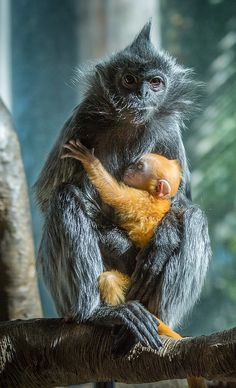 A one-week-old silver leaf langur clutches to its mother. Photo by Linda Schafer