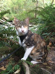 This is a great article about Honey Bee the blind cat who loves going hiking with her human. Those that pass by are always amazed to see a cat out hiking. Honey Bee doesn't mind, she's too busy listening to the sounds of the water, one of her favorite things to do when hiking.