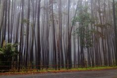 The Jungle , Hutan Pinus Yogyakarta, Indonesia