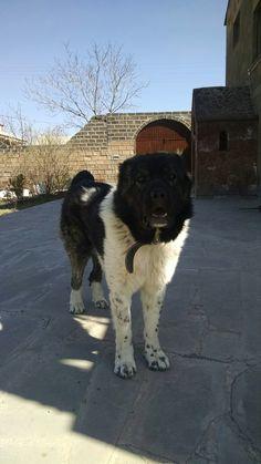 Armenian Gampr, Jango, Caucasian Shepherd