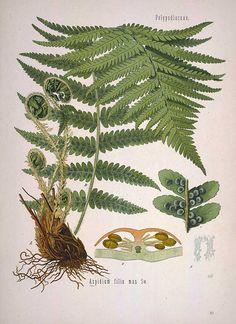 Aspidium filix mas Sw., (Dryopteris filix-mas (L.) Schott), Male fern - Medicinal Botanical Plants
