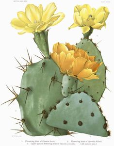 """Opuntia """"prickly pear"""""""