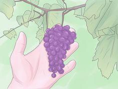 Cómo cultivar uvas -- ¿Alguna vez has pensado en cultivar tus propias uvas? Las parras de uva son bellas y útiles y es una de las primeras plantas que se conoce que se ha cultivado. Normalmente, las uvas se cultivan de esquejes o injertos de esta planta, sin e...
