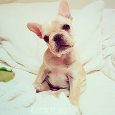 Why You not wanna snuggle? French Bulldog Puppy.