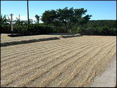 sundried coffee beans, Doka Estate, Alajuela, Costa Rica