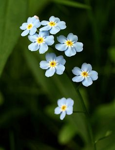 Forget-me-not Flower of the Alzheimer Society