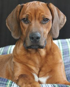 rhodesian ridgeback Large Dog Breeds, Large Dogs, Cute Funny Animals, Cute Dogs, Lion Dog, Rhodesian Ridgeback, Puppy Pictures, Dogs And Puppies, Doggies