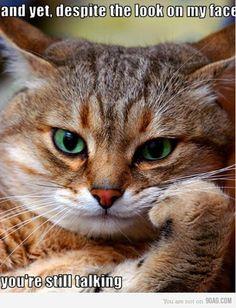 又是一隻福爾摩貓。