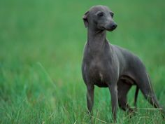 Whippet with Ears Drawn Back by Adriano Bacchella