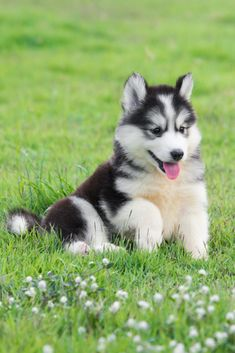 Cute siberian husky puppy on grassYou can find Siberian husky puppies and more on our website.Cute siberian husky puppy on grass Cute Husky Puppies, Siberian Husky Puppies, Husky Puppy, Huskies Puppies, Dalmatian Puppies, Maltese Puppies, Tiny Puppies, Terrier Puppies, Pomeranian Puppy