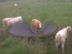This gal who thinks trampolines were built for her.   19 Cows Who Don't Quite Have This Cow Thing Down