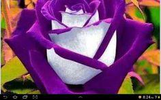 Uma rosa diferente