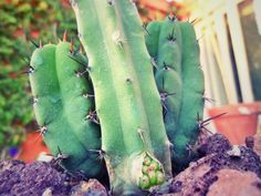 """3. A cactus """"giving birth!"""" Cacti are flowering plants that produce seed-bearing fruit, but the planet can produce its own genetic twin from pieces that have been broken off! The spine of a cactus can be used as a suture for wounds after they've been sterilized using hot coals."""