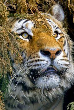 Beautiful Tiger - Big Cats