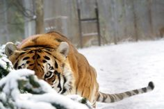 It's one of the residents of Carolina Tiger Rescue, but I want to know who it is.