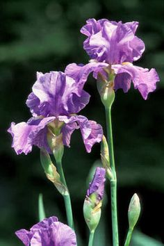 Of all the beautiful plants outside your Gatlinburg vacation rental, none will stand out as much as the state flower, the Blue Iris.