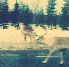 web image of a moose kind of 3d effect